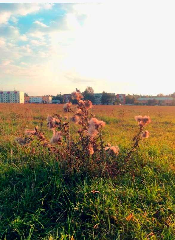 Чертополох в поле