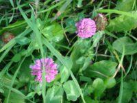 как выглядит клевер цветок