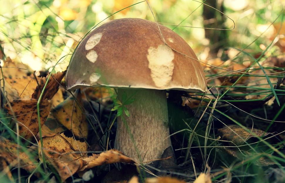пошли ли белые грибы